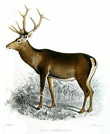 Kashmir's Red stag